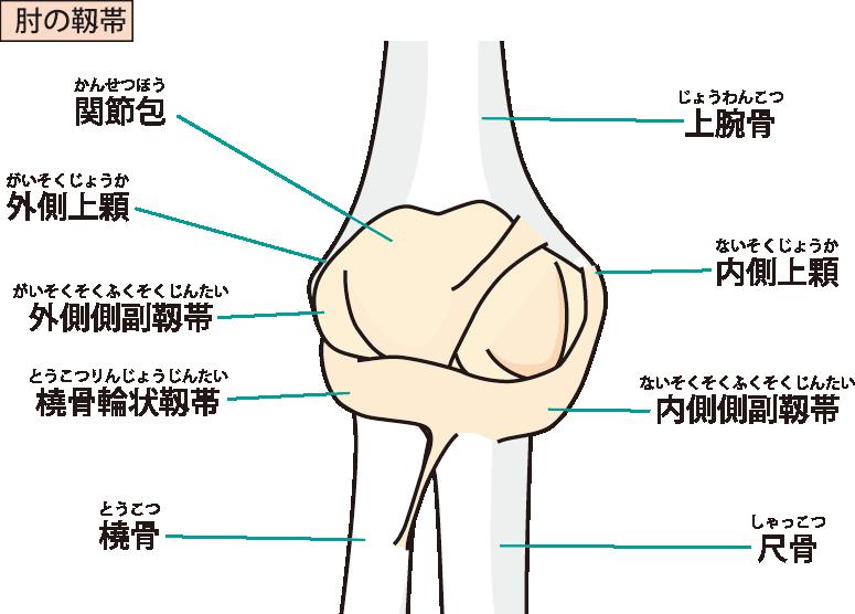 肘の靭帯のイラスト